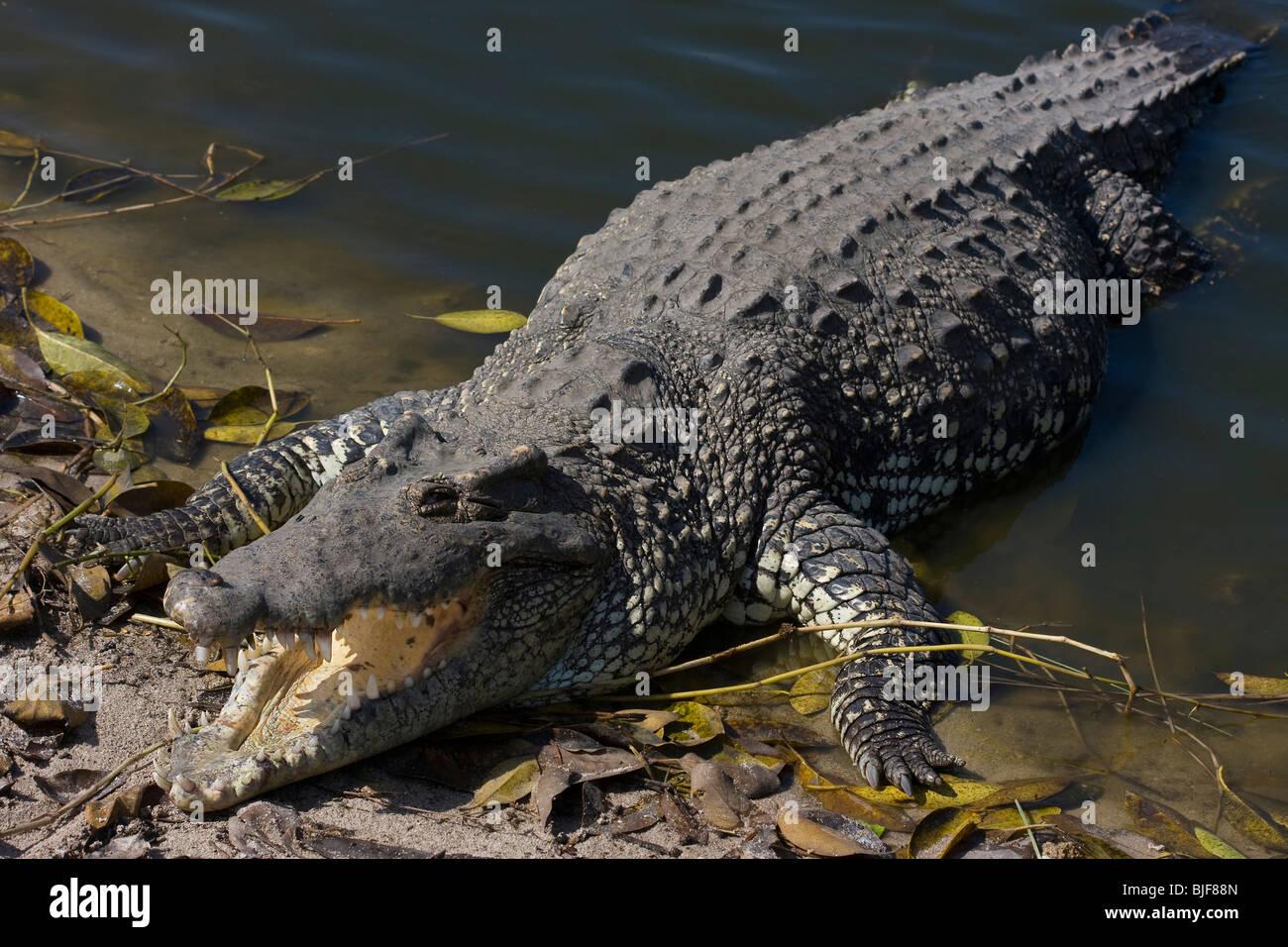 CUBAN CROCODILE (Crocodylus rhombifer) basking, Zapata swamp, Cuba. Critically endangered species. Captive. Stock Photo