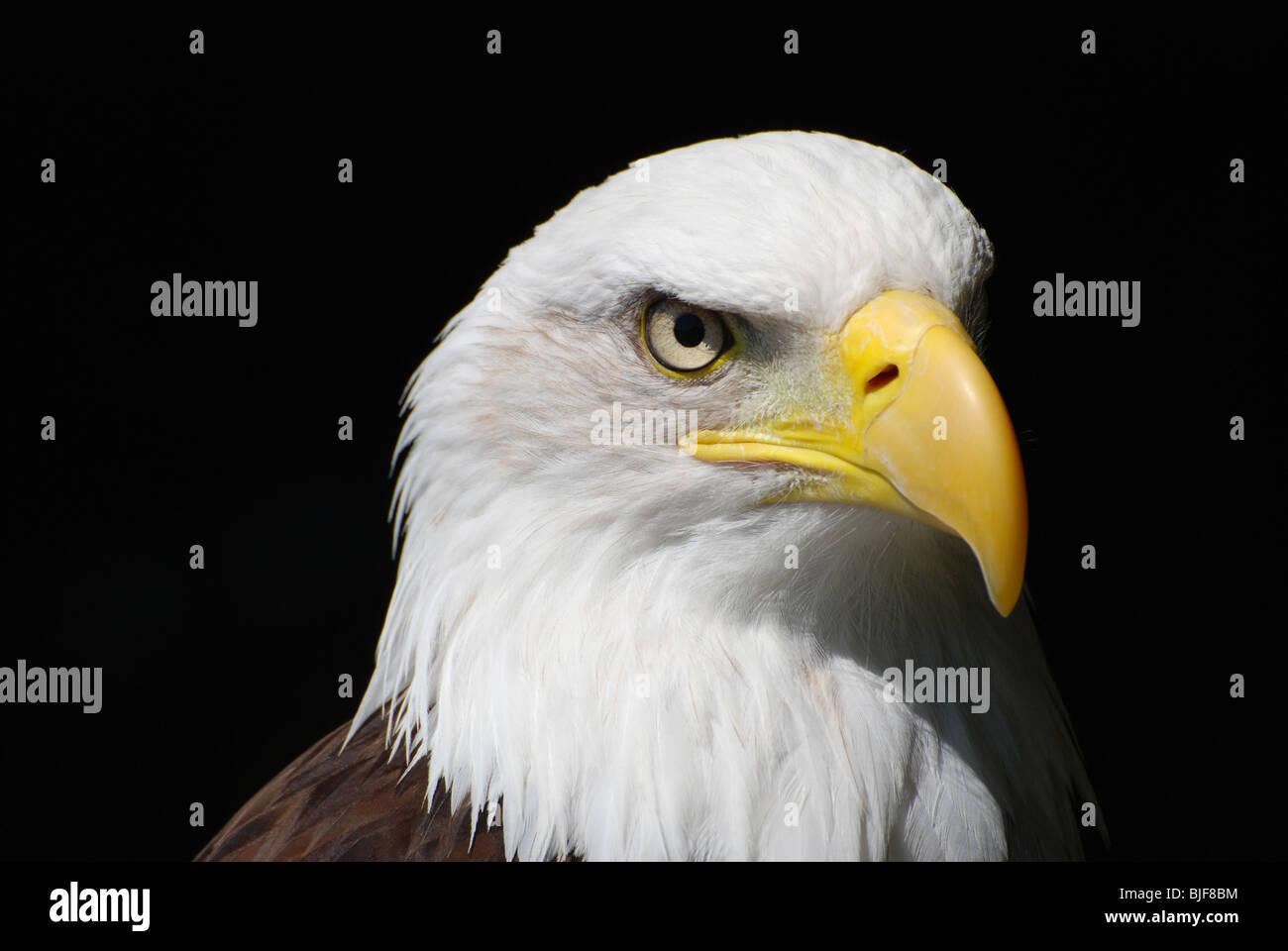 An American Bald Eagle - Stock Image