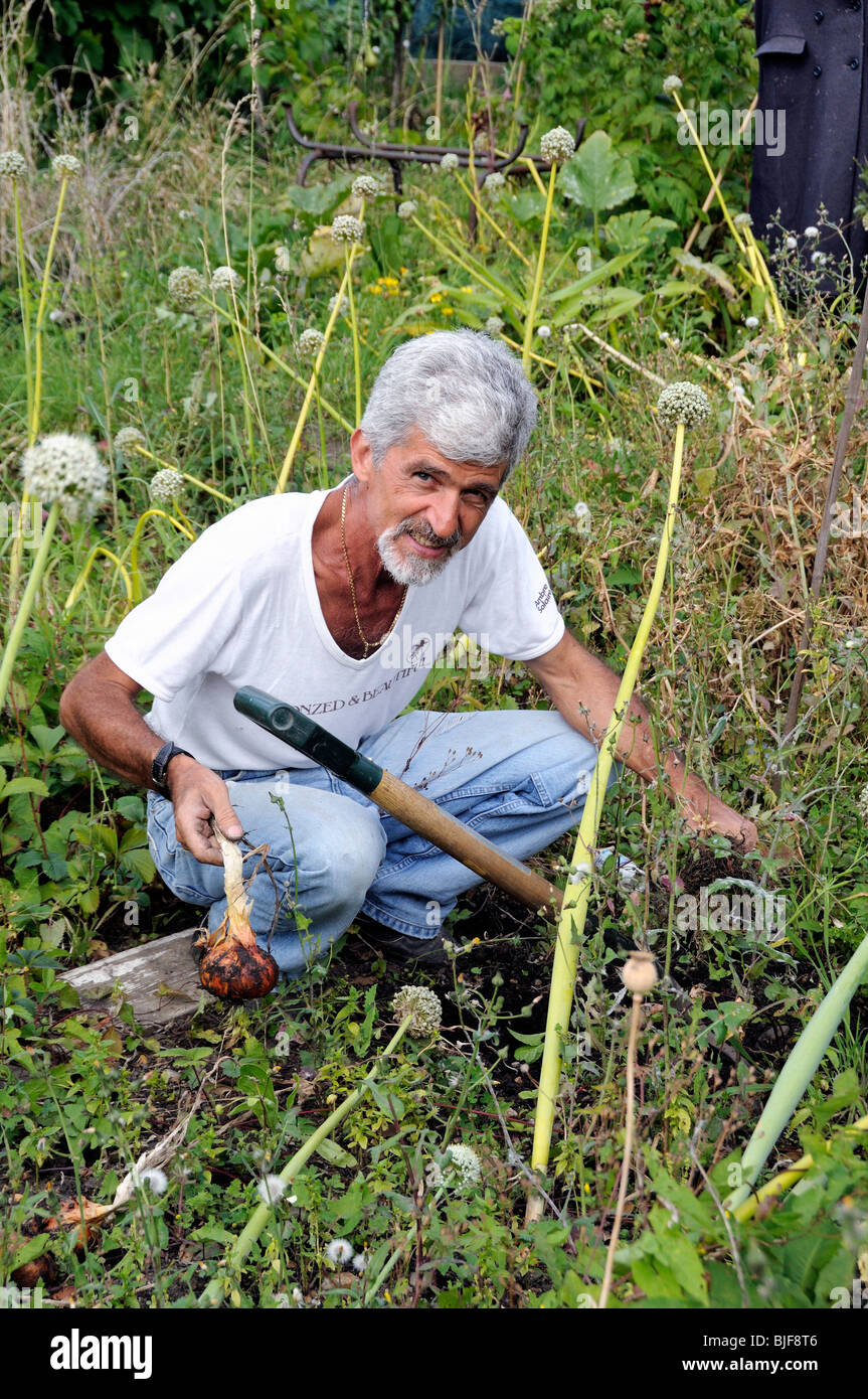 Man working on his allotment amongst the alliums, Oliver Road Allotments, Leyton, East London. - Stock Image