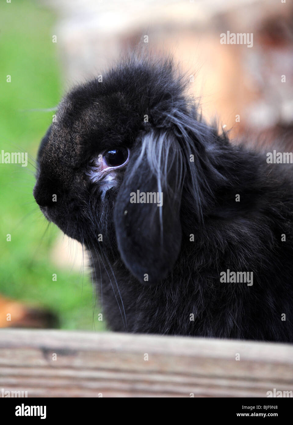 A black lop eared rabbit - Stock Image