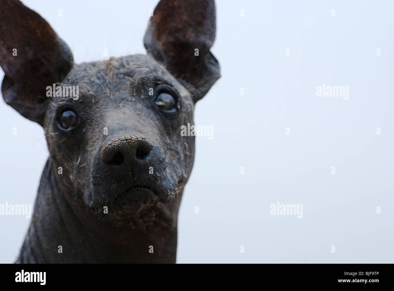 hairless peruvian dog - Stock Image