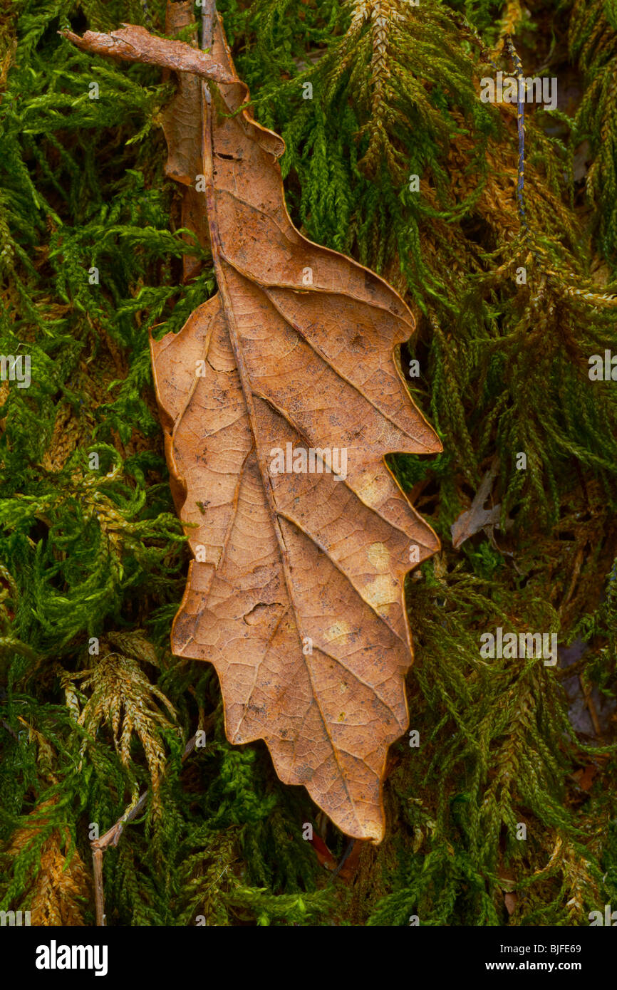 withered leaf sits on moss having survived winter months - Stock Image