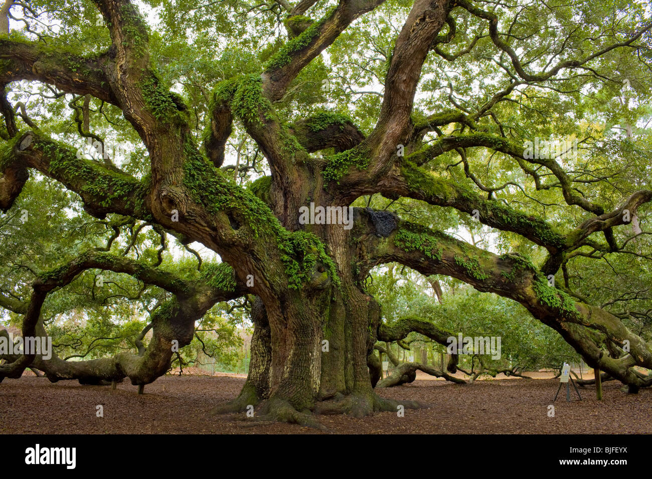 The Angel Oak Quercus Virginiana Largest Southern Live