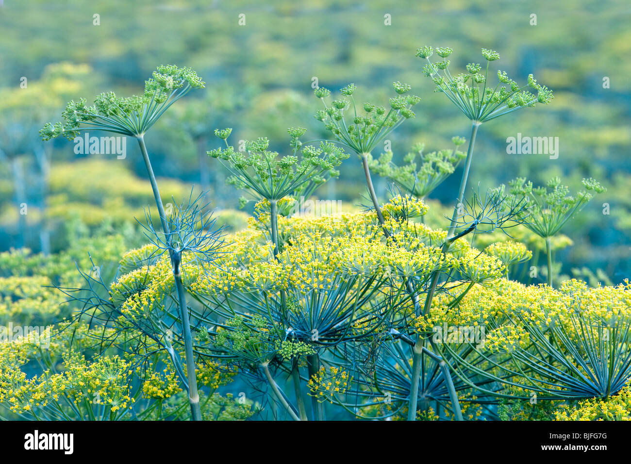 Dill 'Anethum graveolens'  flowering in field. - Stock Image