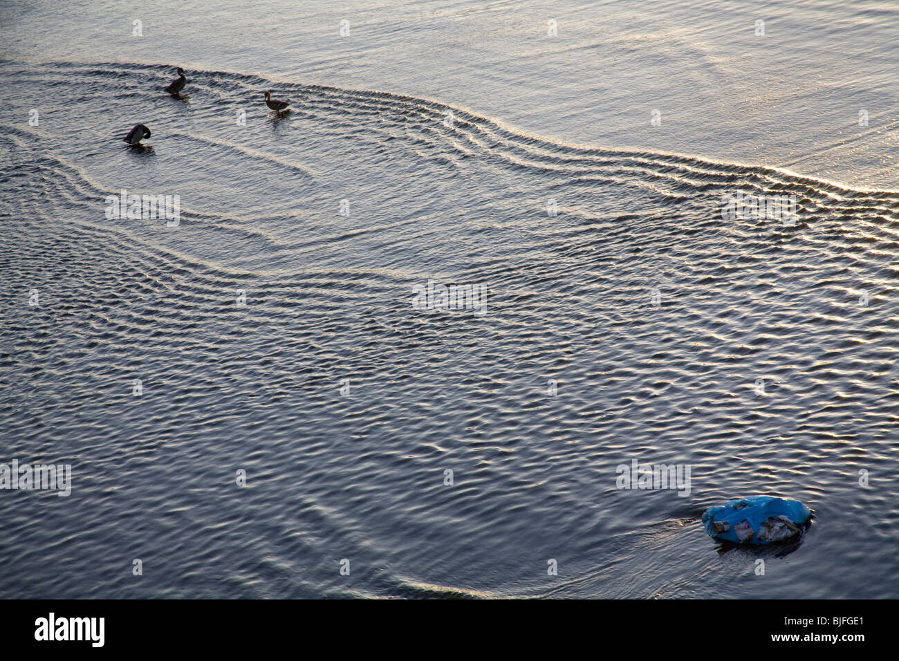 Plastic trash and ducks in Los Angeles River, Bell, Los Angeles, California, USA - Stock Image
