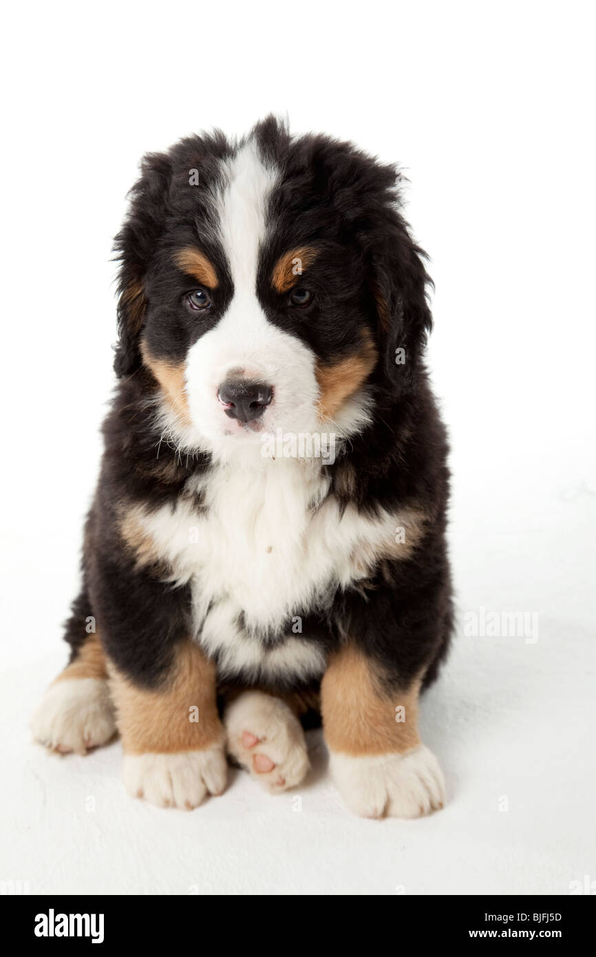 7 weeks old Bernese Mountain Dog puppy - Stock Image