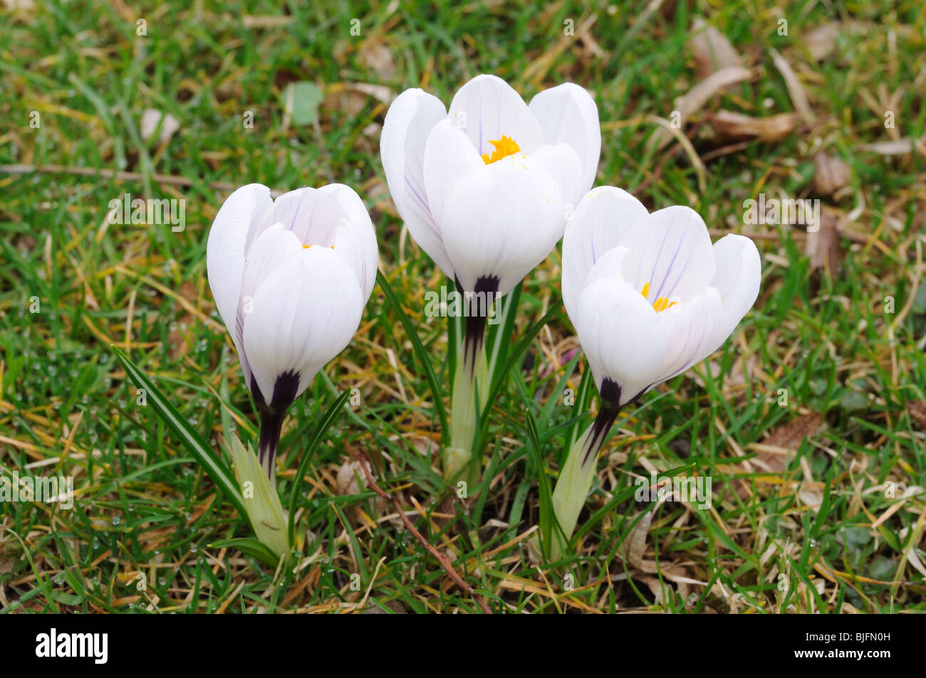 Wild white crocus flowers stock photos wild white crocus flowers beautiful white crocus flowers stock image mightylinksfo