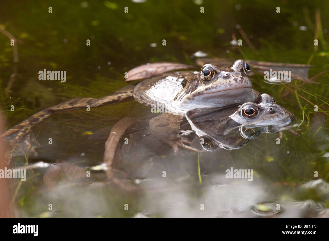 Common Frog in a Garden Pond in Hampshire Stock Photo