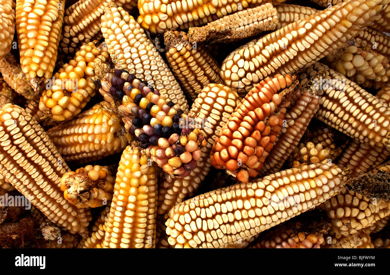 Corn cobs in a farm in Lanzarote, near Tepotzotlan, Mexico, December 3, 2007. Photo/Chico Sanchez Stock Photo