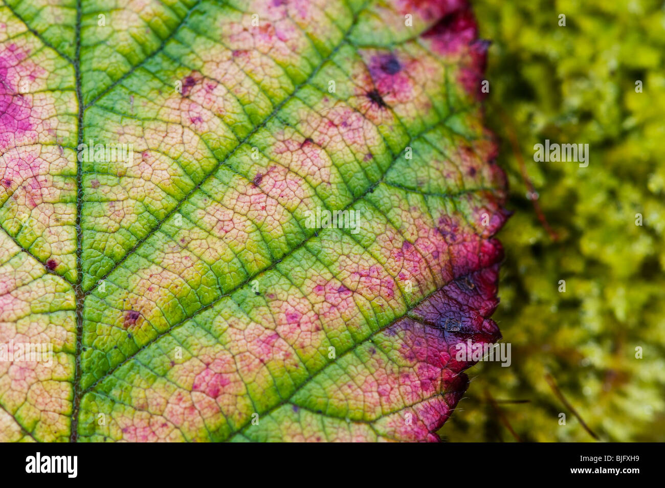 Bramble leaf loosing it Chlorophyll and discolouring in winter. UK - Stock Image