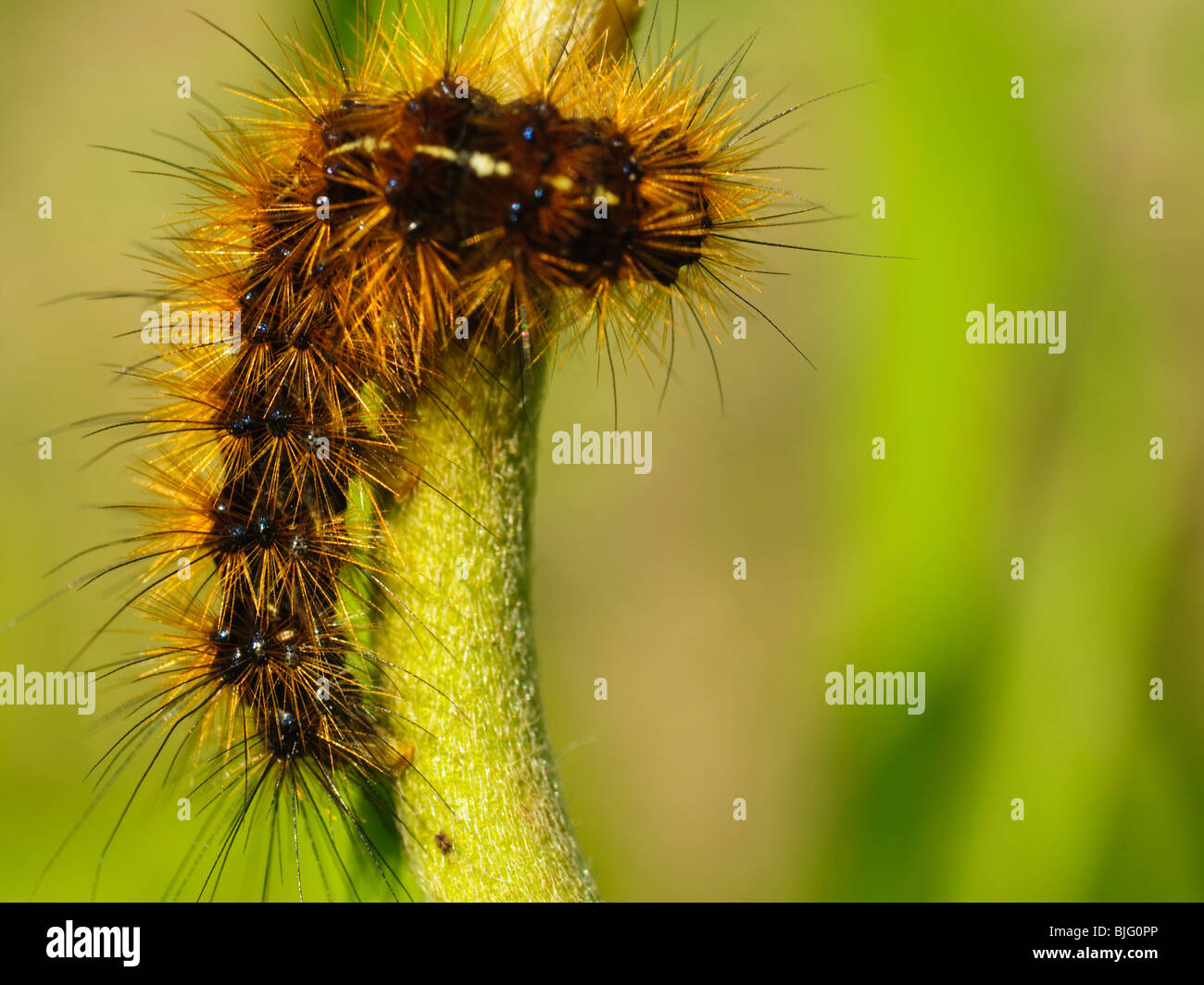 close up of a hairy caterpillar - Stock Image