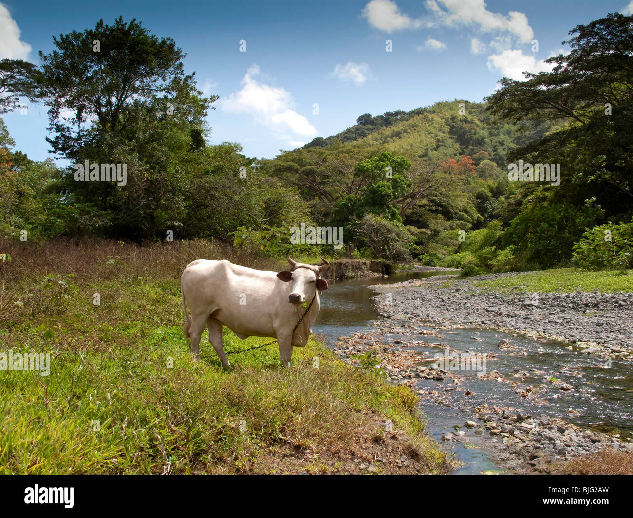 A brahman cow on pastureland close to a river near the tropical rainforest Tobago - Stock Image