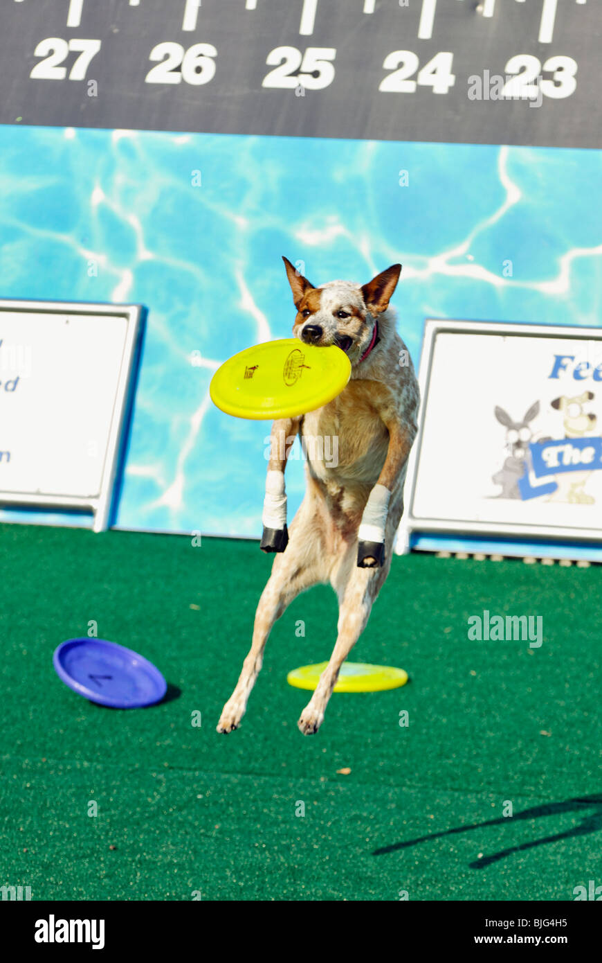 Demonstration of Trained Dog Leaping into the Air to Catch Flying Disc at the 2009 Kentucky State Fair in Louisville, - Stock Image
