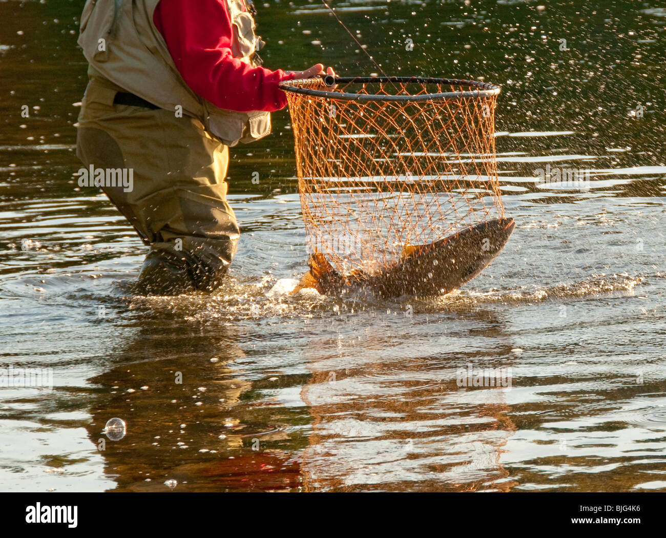 NEW BRUNSWICK, Fly fishing guide netting Atlantic Salmon on the Miramichi River. - Stock Image