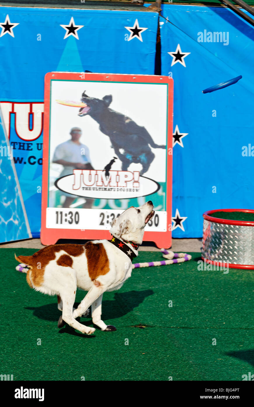 Demonstration of Trained Dog Running to Catch Flying Disc at the 2009 Kentucky State Fair in Louisville, Kentucky - Stock Image