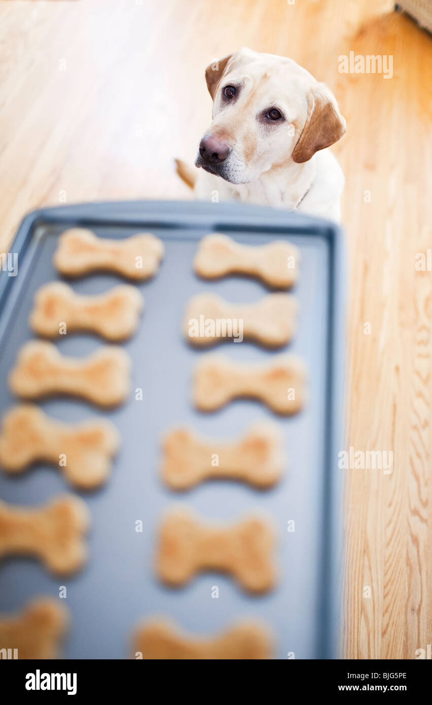 Young Yellow Labrador Retriever begging for homemade dog biscuits. - Stock Image