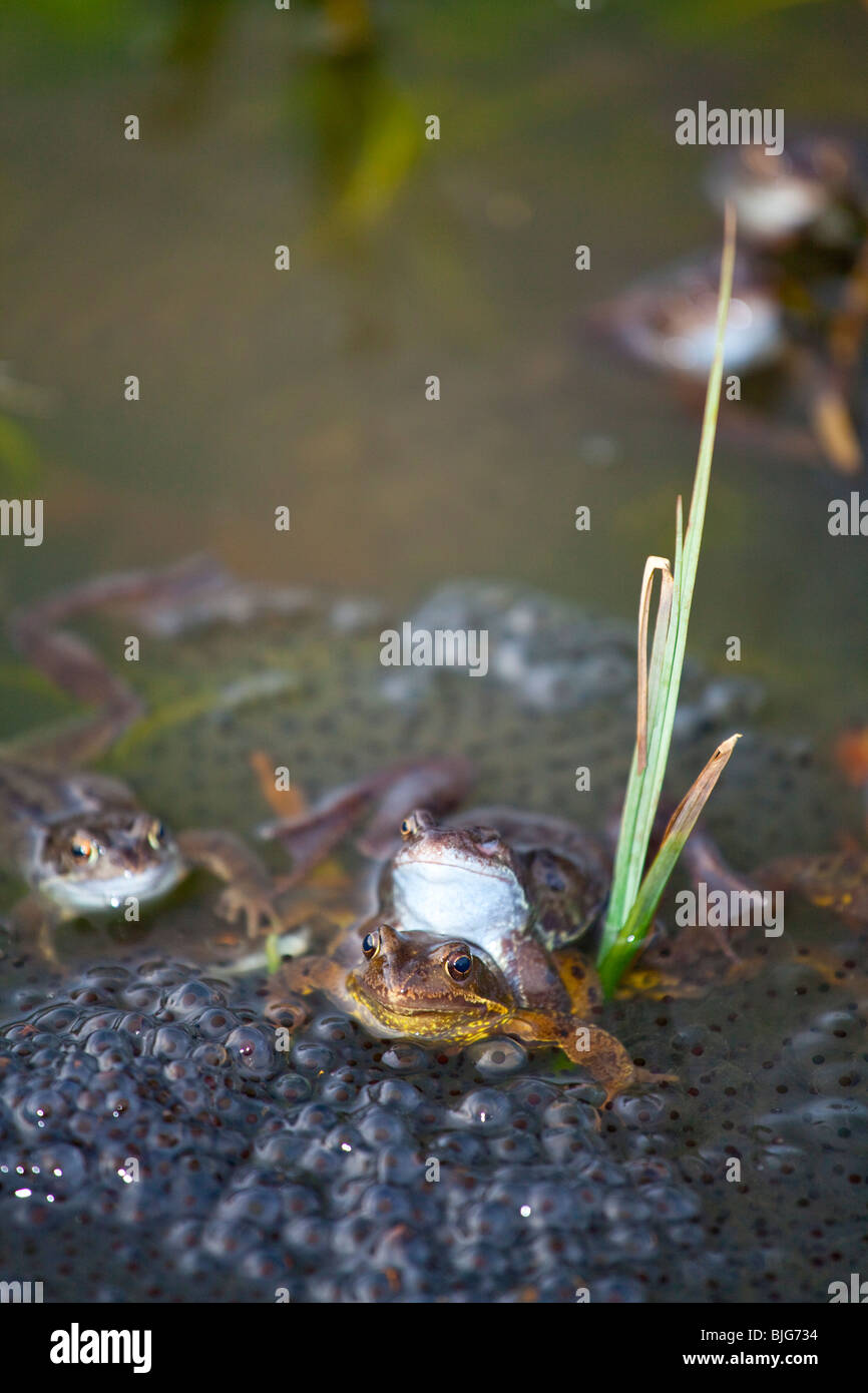 England, Northumberland, Gosforth. Frogs spawning at the NWT urban reserve in Gosforth, Newcastle upon Tyne. - Stock Image