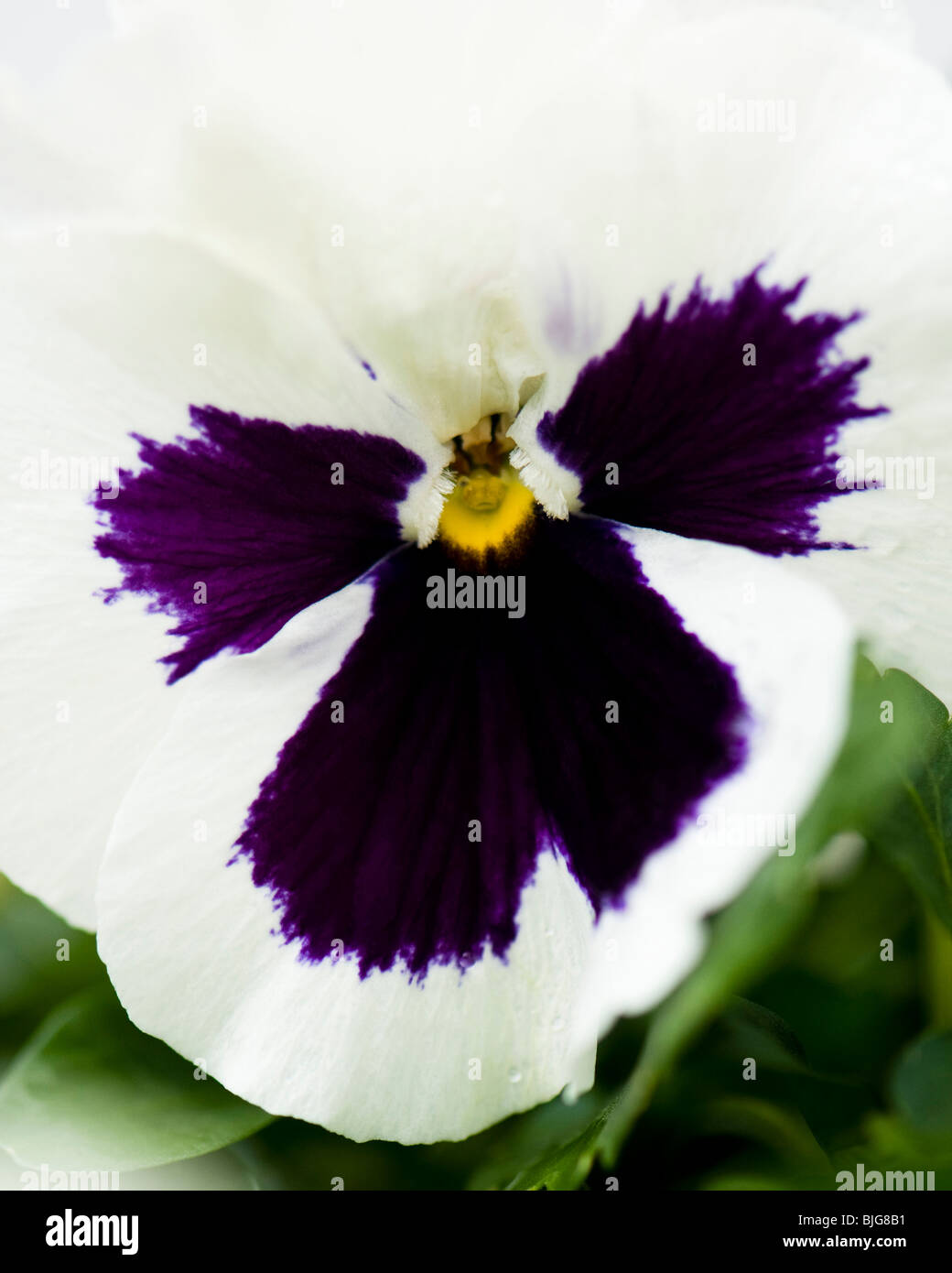 Close up of a Pansy White Blotch, Viola x wittrockiana, in flower - Stock Image