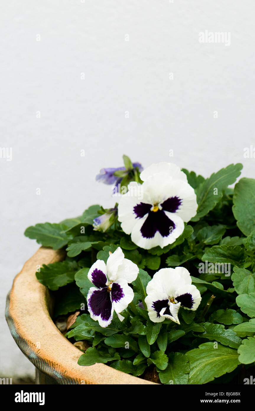 Pansy White Blotch, Viola X wittrockiana, in flower in a ceramic garden container - Stock Image
