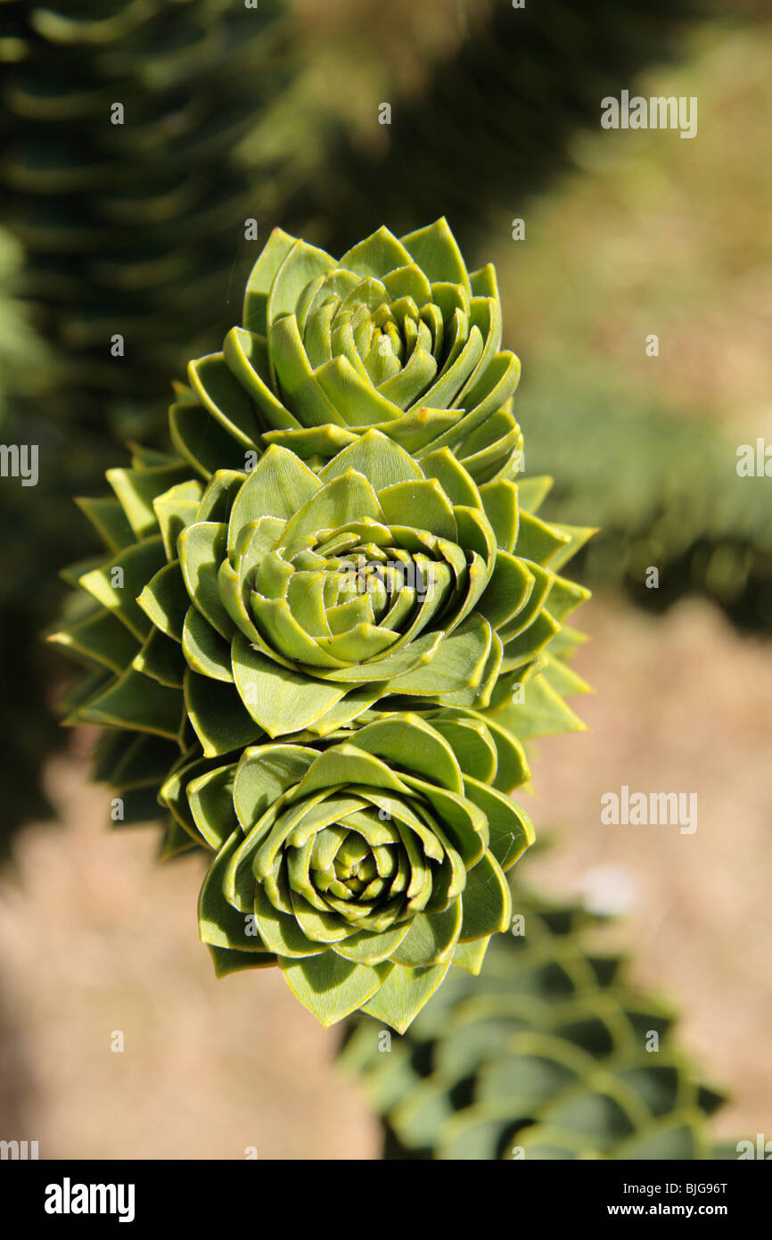 Close up of Araucaria araucana (Monkey-puzzle) tree and is the hardiest species in the conifer genus Araucaria. - Stock Image