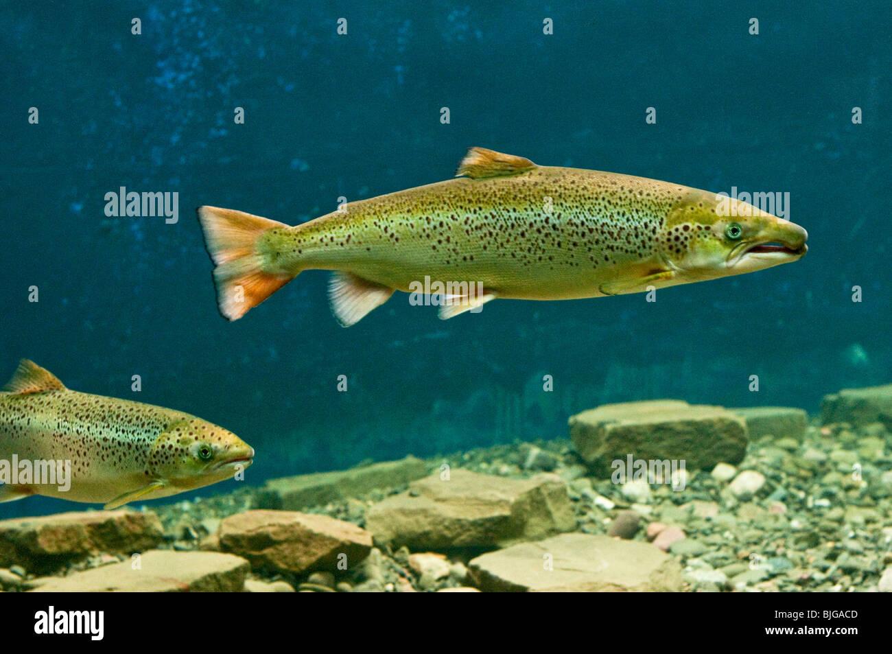 NEW BRUNSWICK, Atantic Salmon Museum in Doaktown. Atlantic Salmon swimming in fish aquarium. Miramichi River. - Stock Image