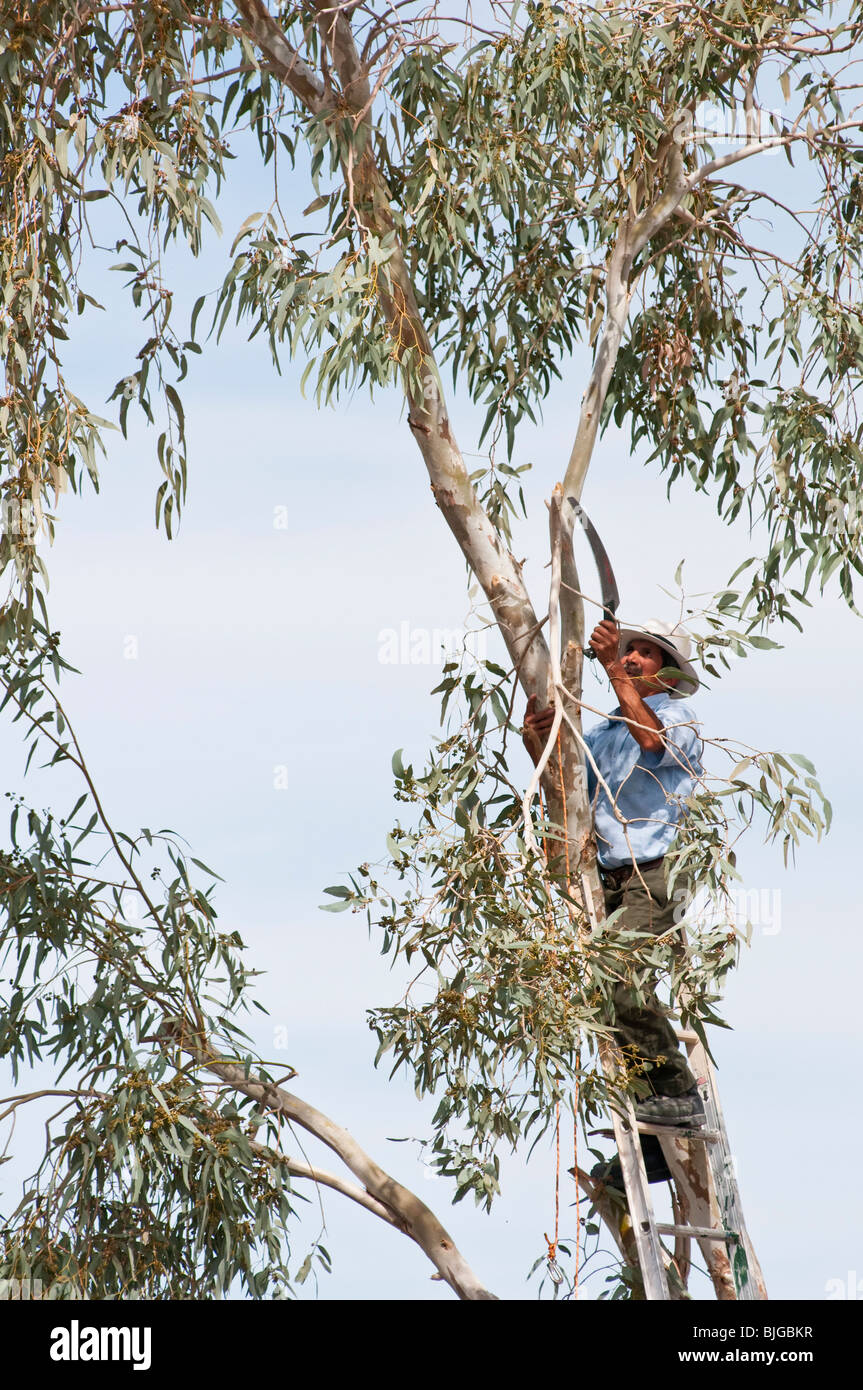 a man trims branches from an eucalyptus tree prior to removal. - Stock Image