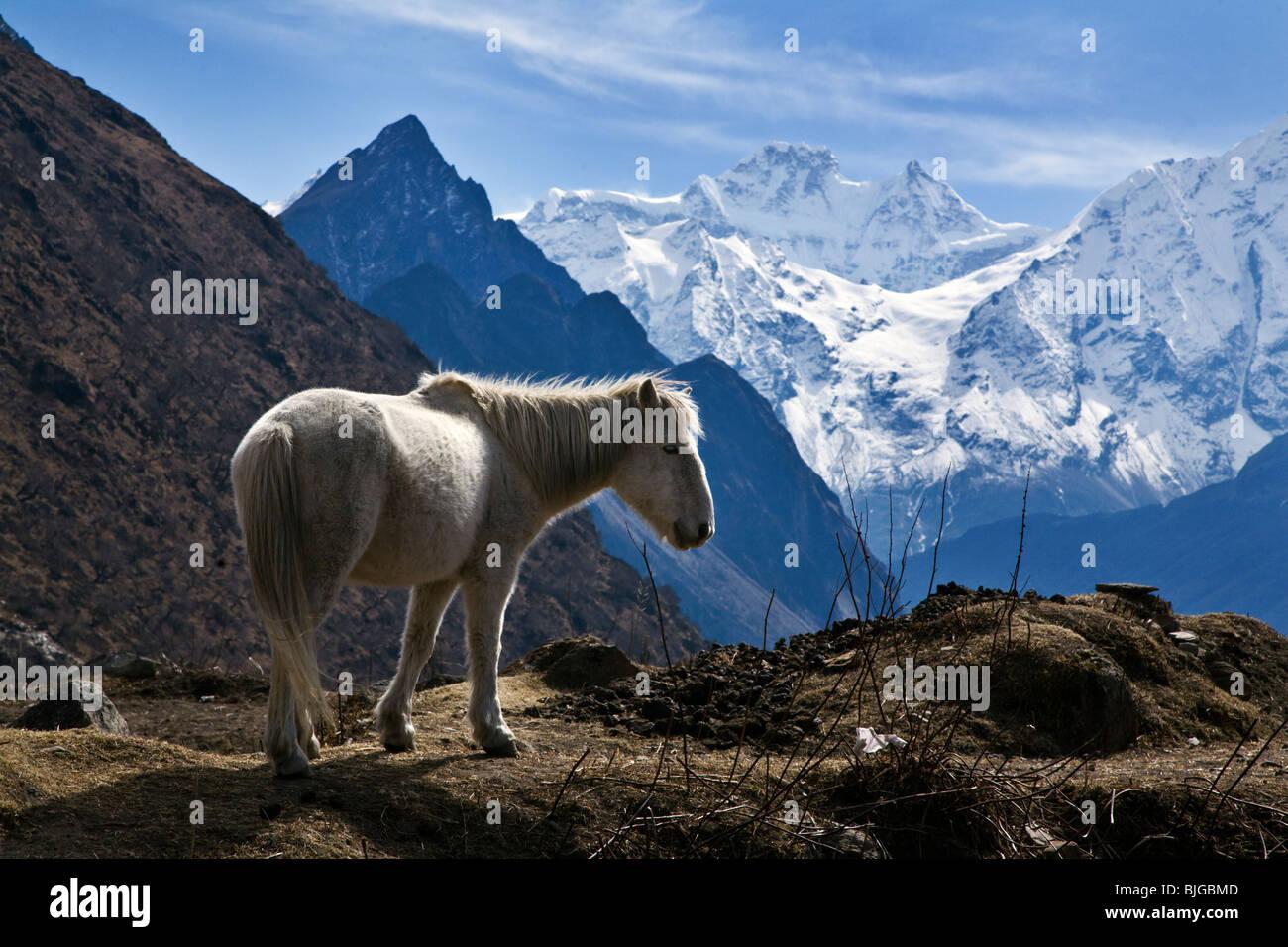 HIMAL CHULI and a white HORSE in the village of SAMDO on the AROUND MANASLU TREK - NUPRI REGION, NEPAL - Stock Image