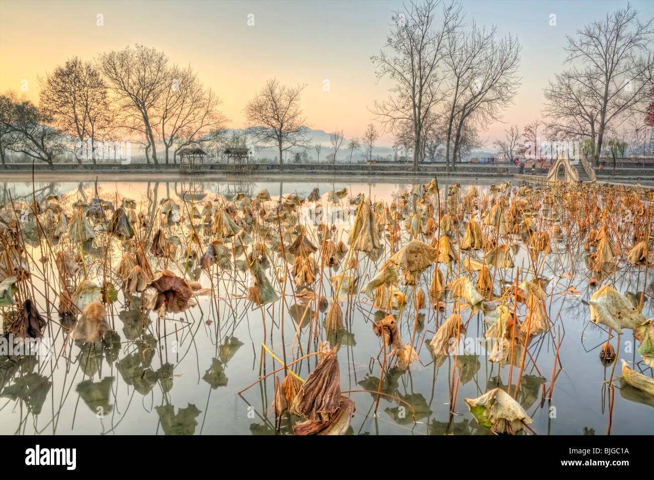Spent Lotuses in the dawn at South Lake, Hong village, Anhui, China - Stock Image