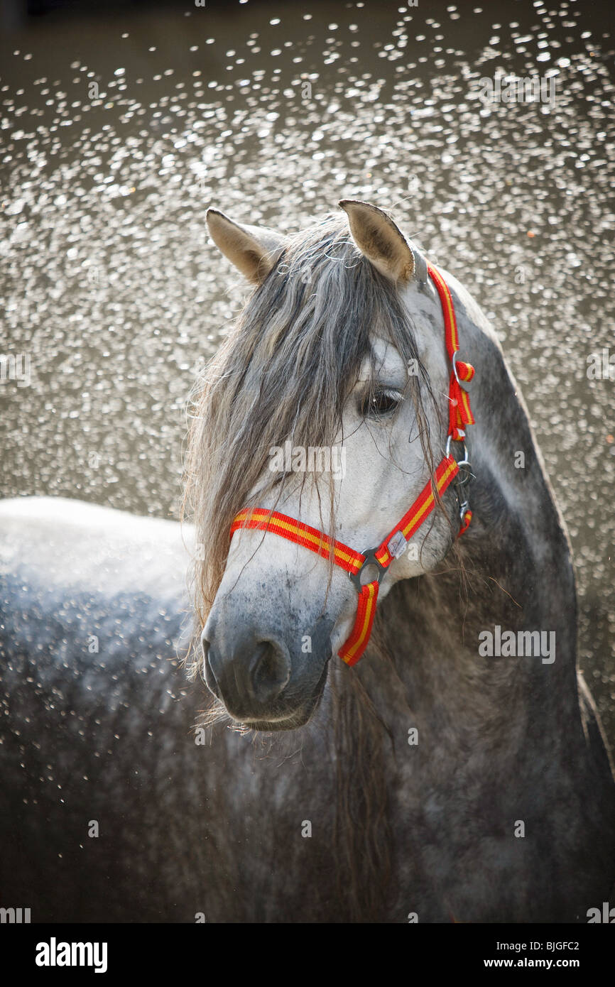 horse shaking off water - Stock Image