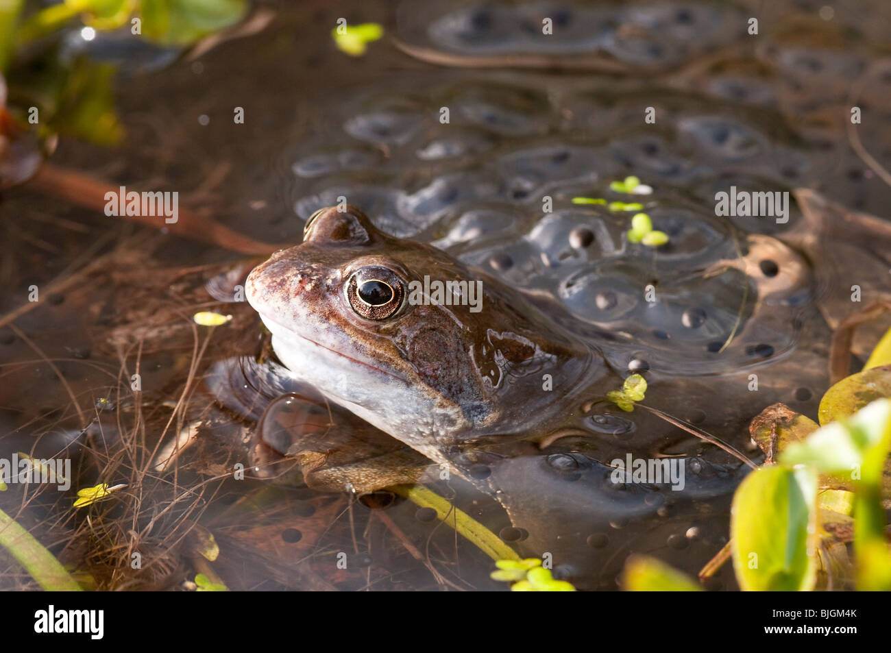 Common Frog in a Garden Pond in Hampshire Surrounded with Spawn - Stock Image