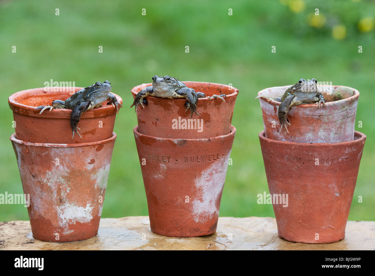 Common garden frogs, Rana Temporaria, appearing out of terracotta flower pots. UK - Stock Image