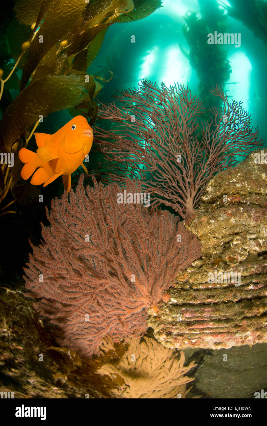 An orange Garibaldi fish swims over a reef with sea fans, kelp and blue water. - Stock Image
