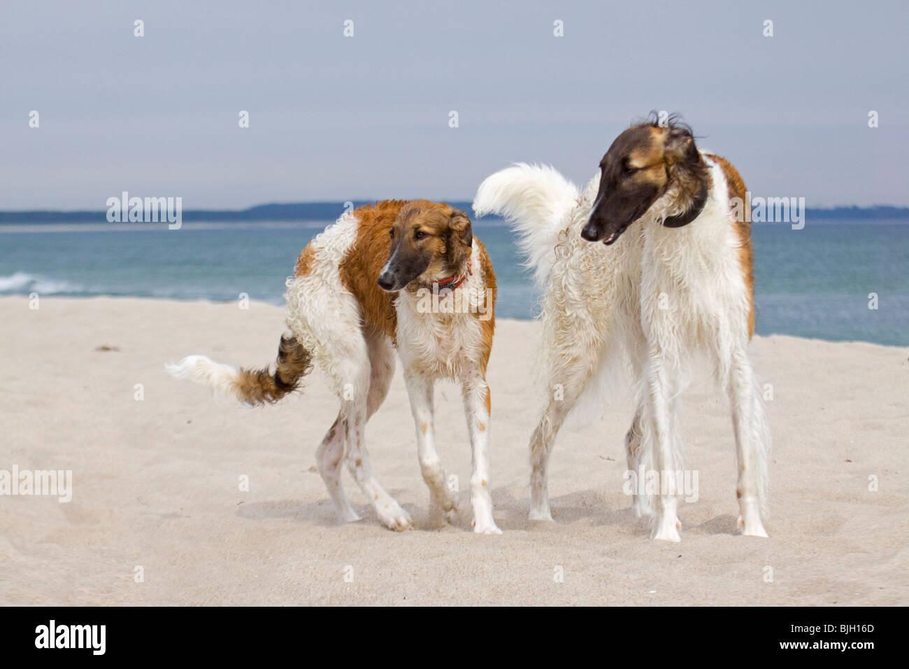 two Barzoi dogs standing beach Stock Photo