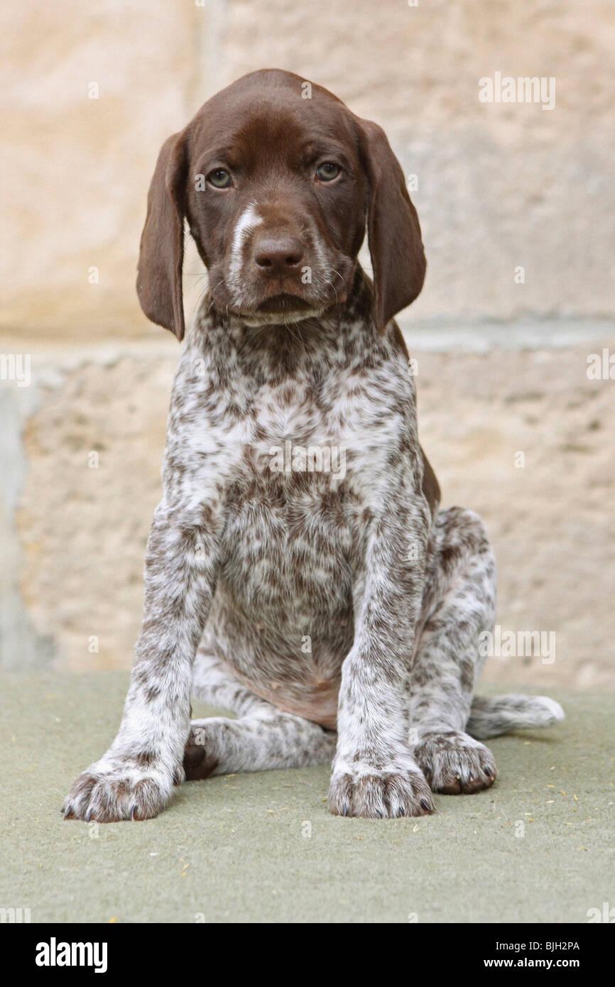 Gsp Dog Puppy
