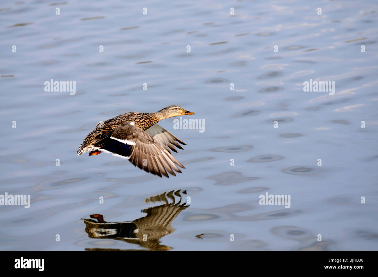 Female Mallard duck flying low over a lake in Kentucky USA - Stock Image