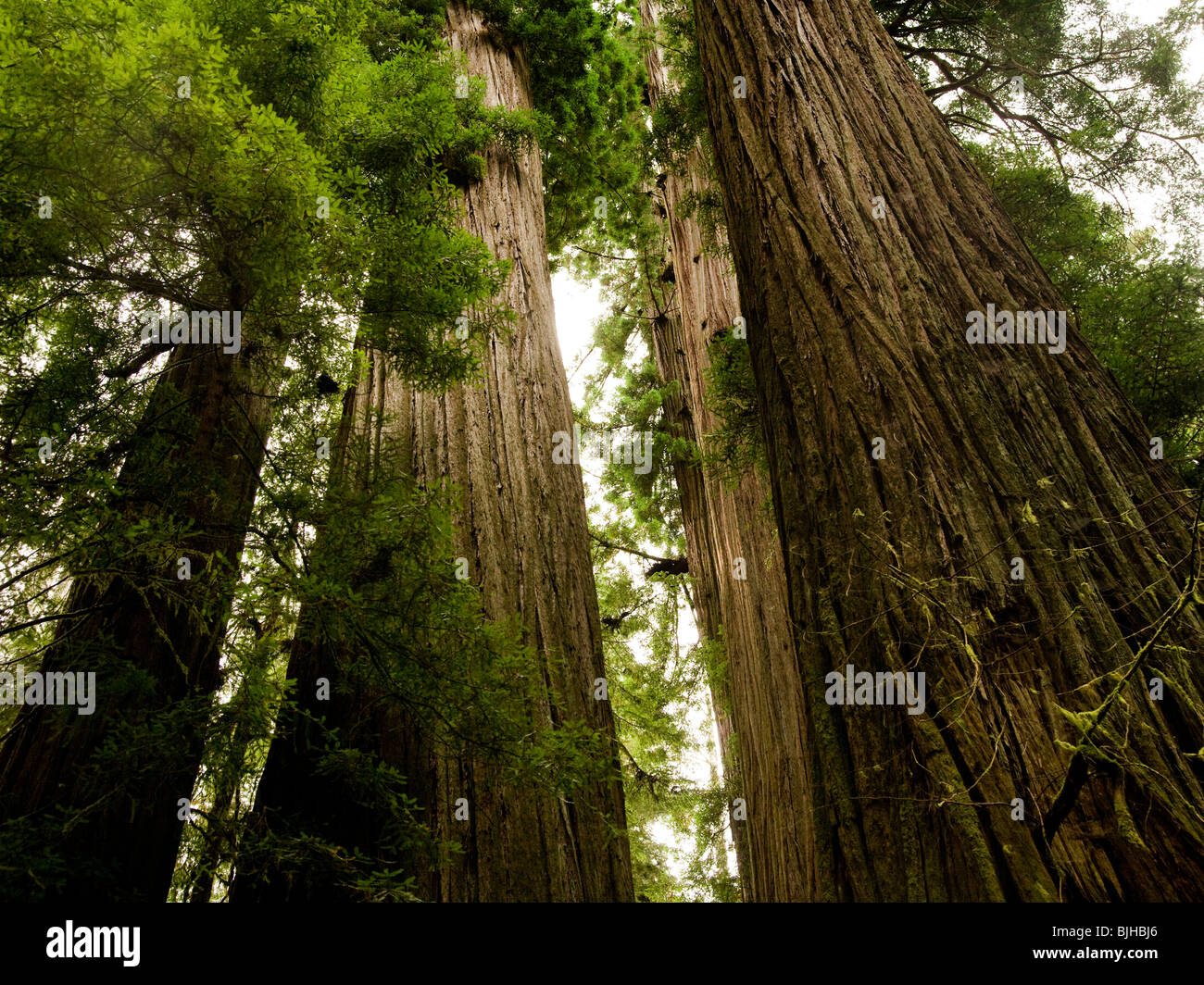 giant redwoods - Stock Image