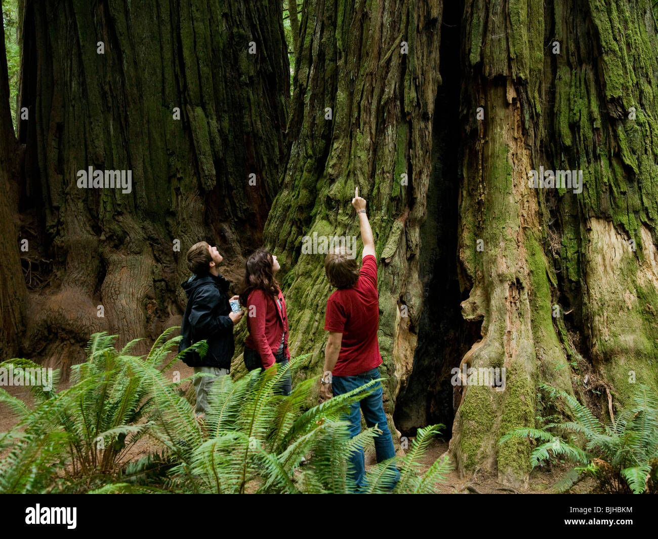 three people looking up at a giant redwood - Stock Image