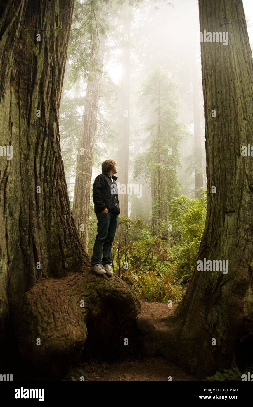 man standing in between two giant redwoods in the forest - Stock Image