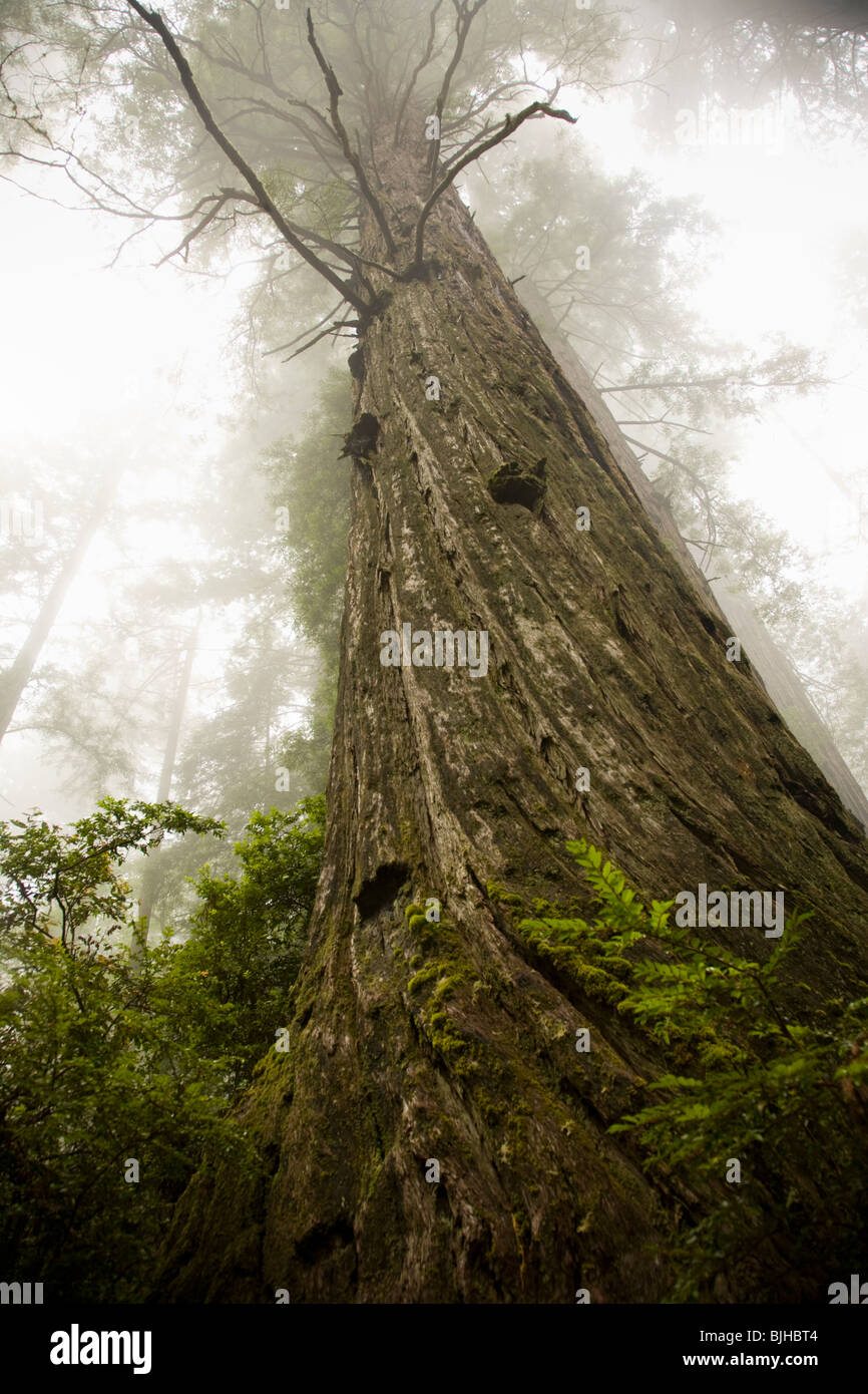 giant redwoods - Stock Image