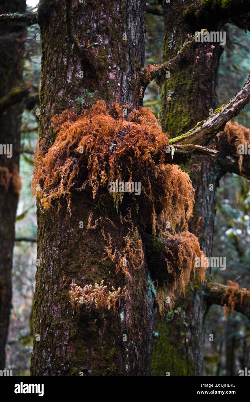 FERNS on a CONIFER TREE in a healthy FOREST on the AROUND MANASLU TREK - NUPRI REGION, NEPAL - Stock Image