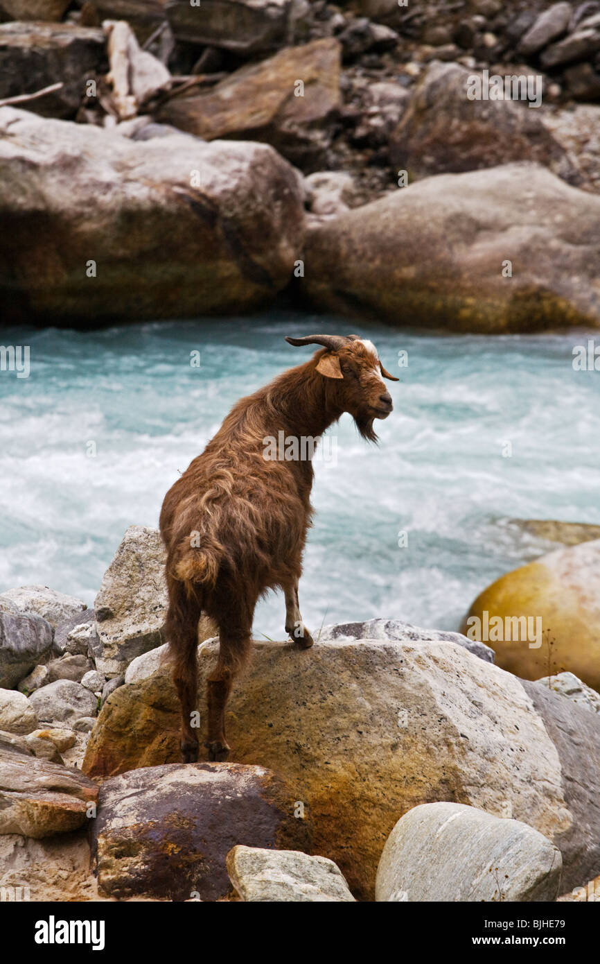 A GOAT foraging along the DUDH RIVER on the AROUND MANASLU TREK - NUPRI REGION, NEPAL - Stock Image
