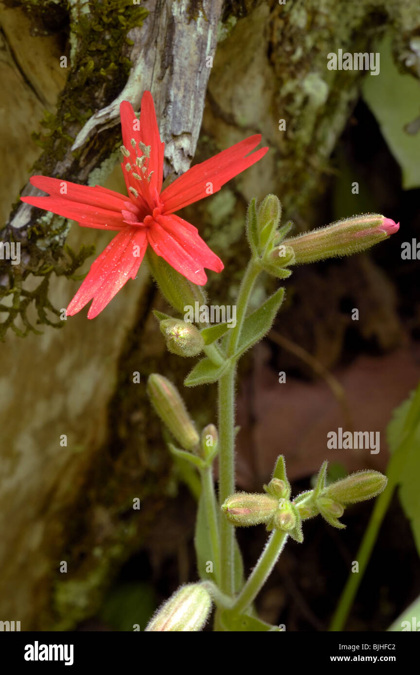 Fire Pink Silene Virginica Of The Family Caryophyllaceae Stock