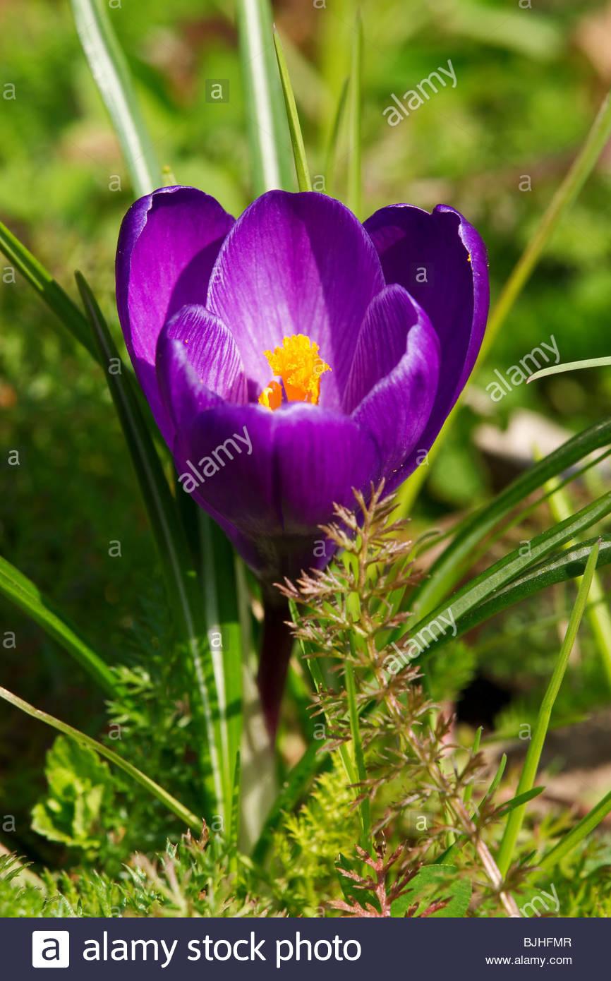 Crocus - Iridaceae - Stock Image