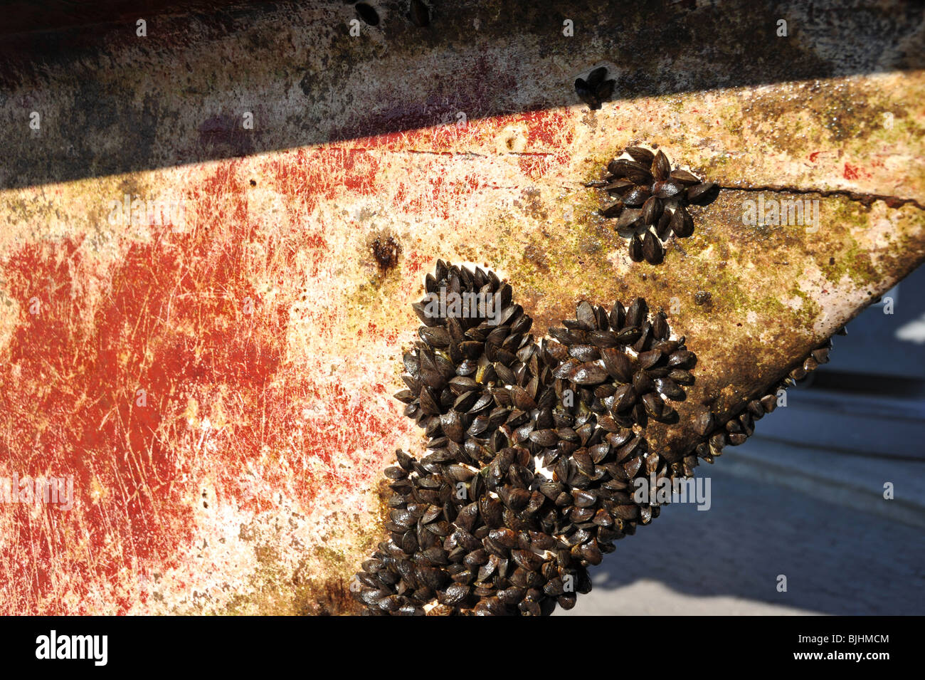 Close up image of the underside of a boats hull that shows the growth of mussels and barnacles. This boat was in - Stock Image