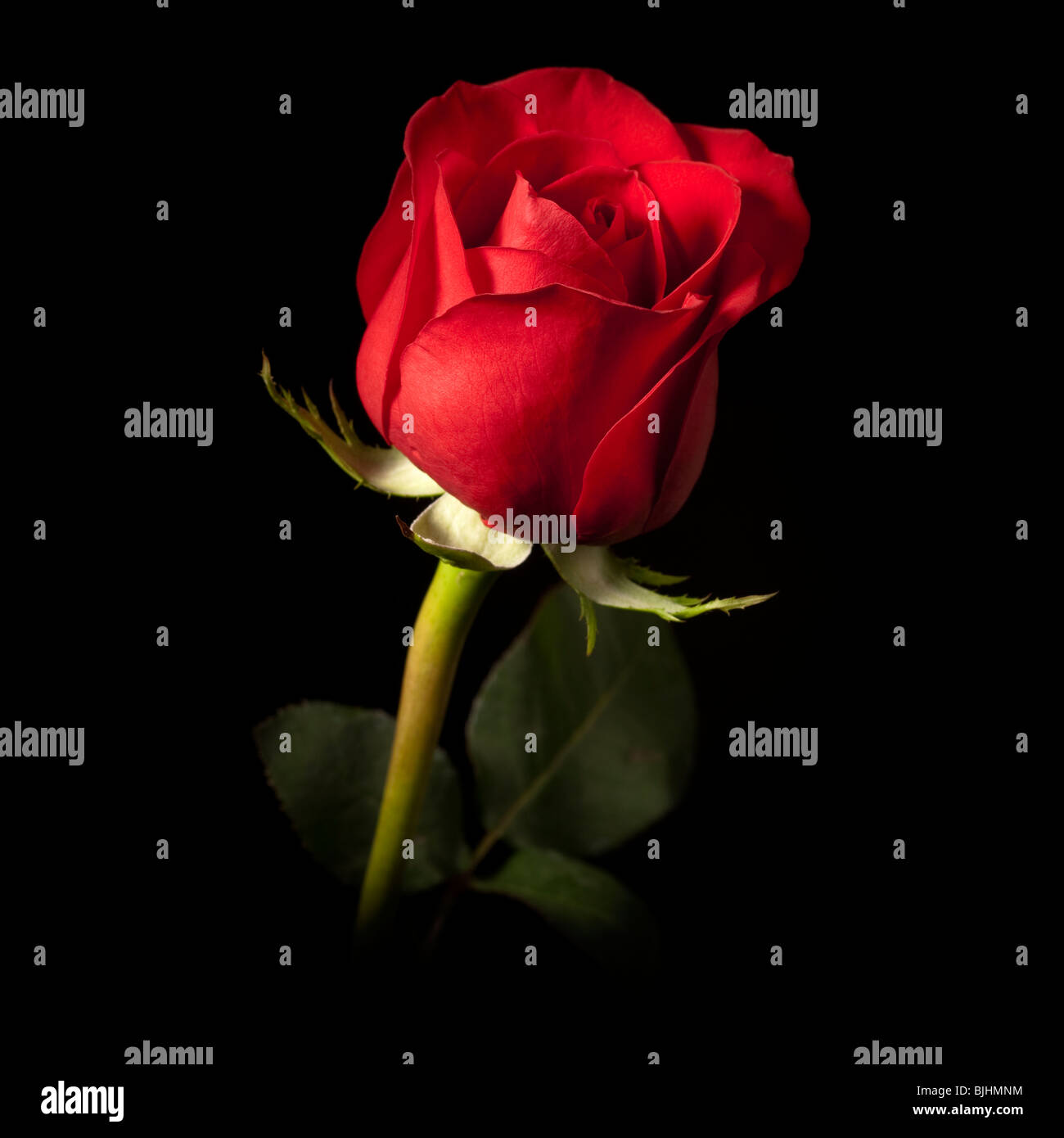 Images of single red rose black background