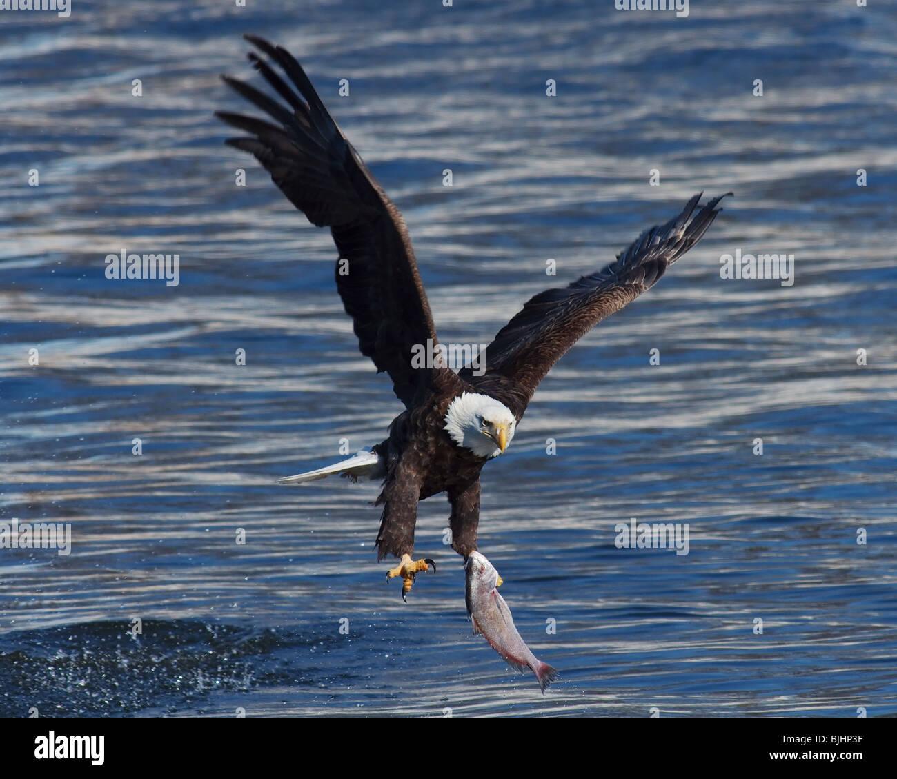 Eagle Catching Fish Drawing A mature Bald Eagle ca...