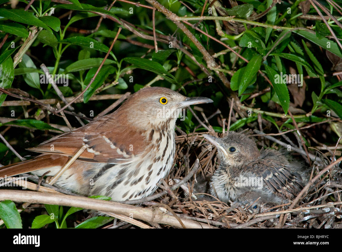 Female brown thrasher (Toxostoma rufum) near the nest. - Stock Image