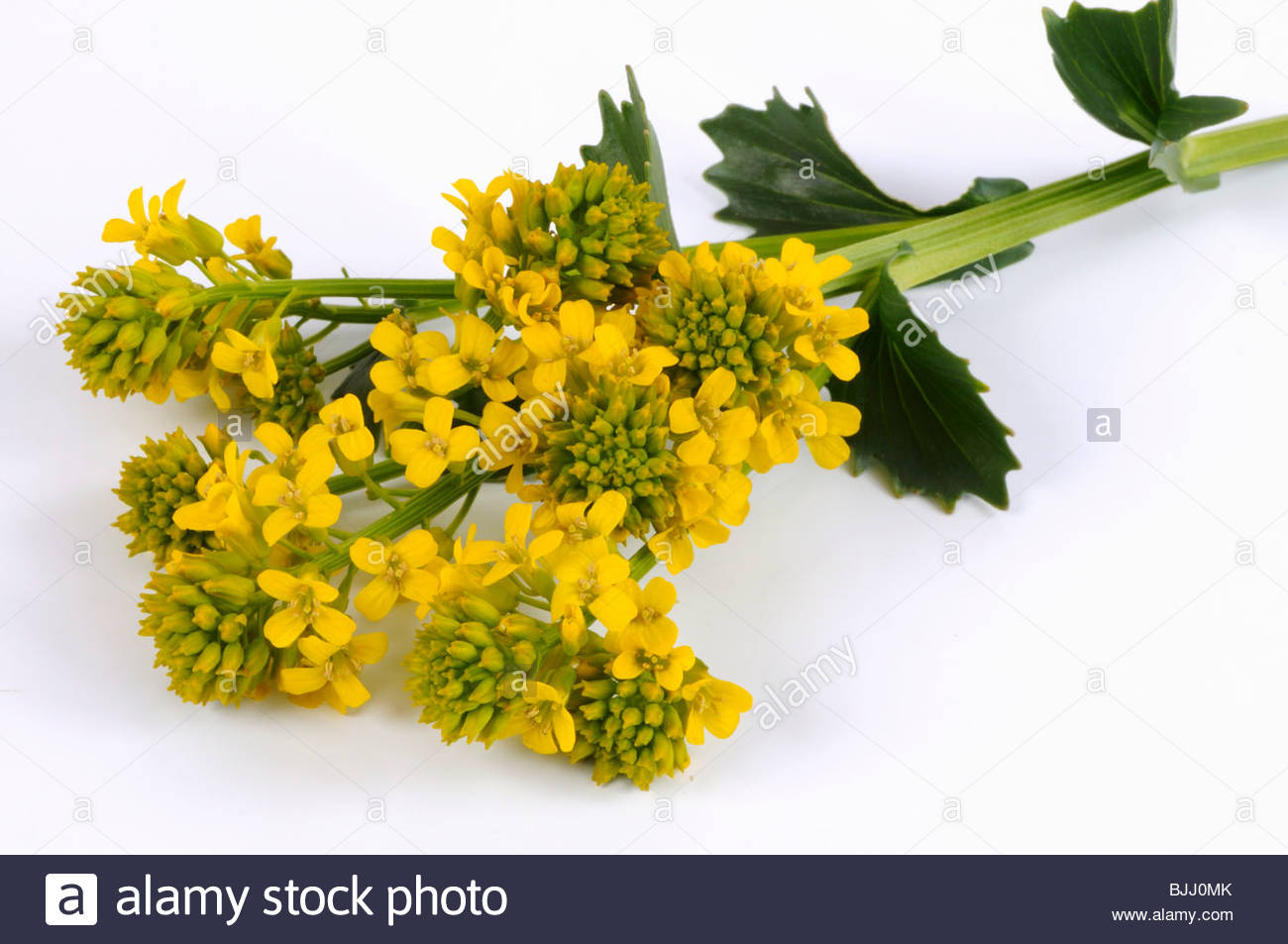 Common Yellow Rocket Or Winter Cress With Flowers Stock Photo