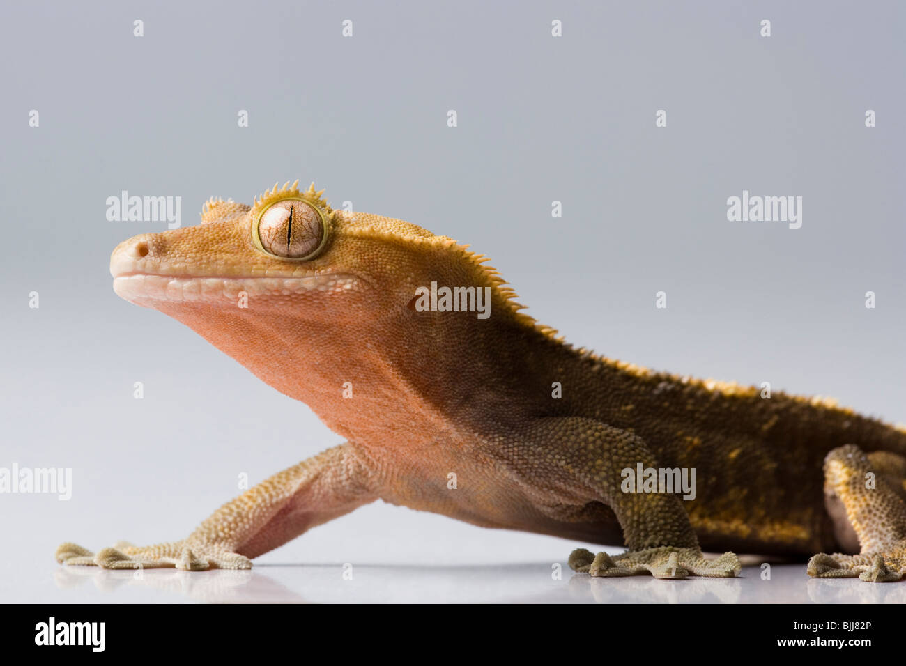 Closeup of lizard - Stock Image