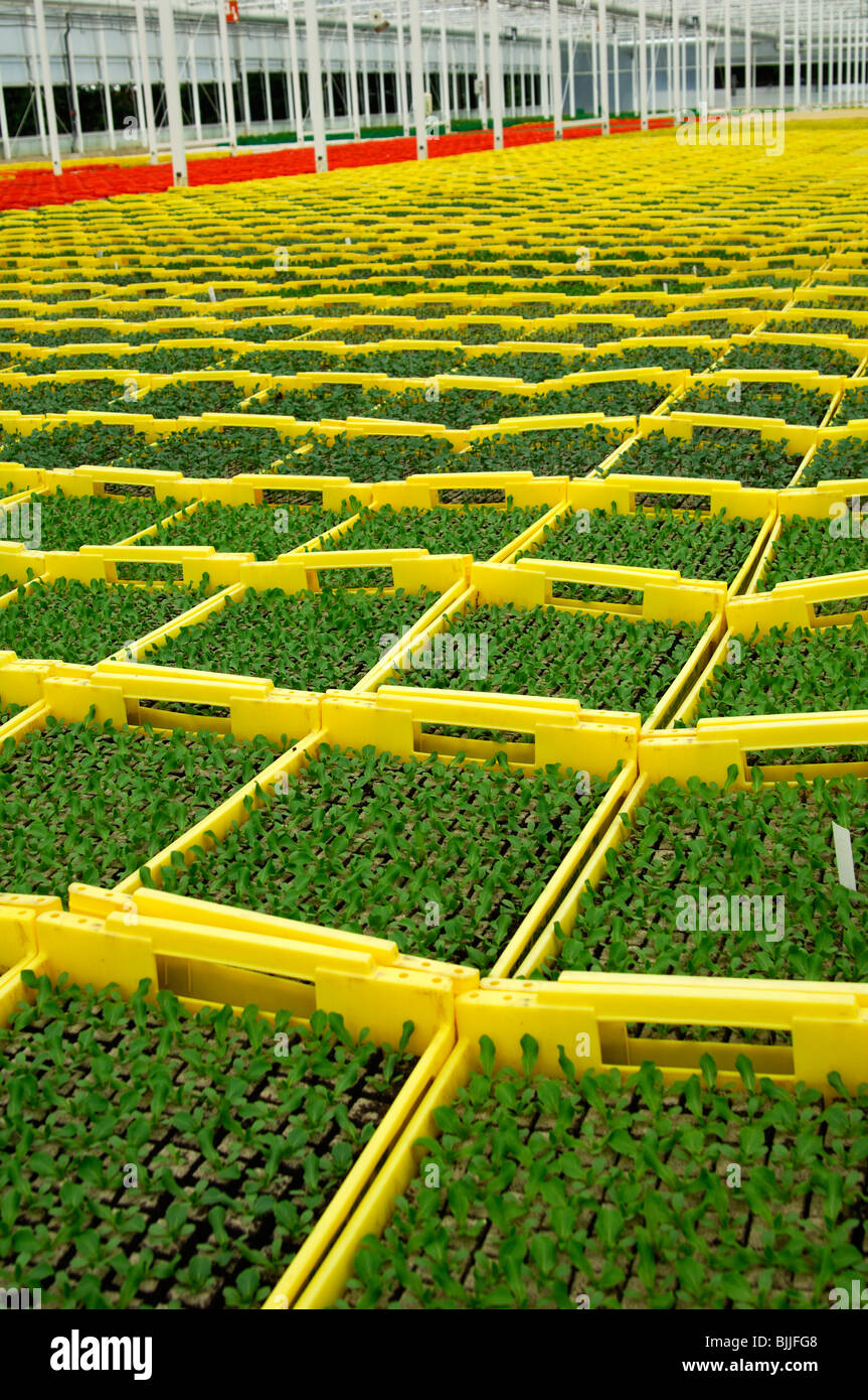 Seedlings in planters in a hothouse of a nursery, Seeland region, Switzerland - Stock Image